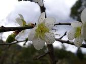 乍暖還寒梅開幾度:梅花18.jpg