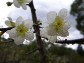 乍暖還寒梅開幾度:梅花19.jpg