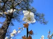 乍暖還寒梅開幾度:梅花20.jpg