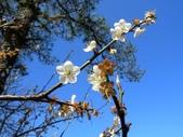 乍暖還寒梅開幾度:梅花21.jpg