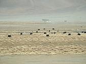 南北疆之完結篇《走在帕米爾高原上》:11牛羊之帕米爾高原牛羊10.JPG