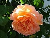 玫瑰多嬌加州尤甚:030.JPG