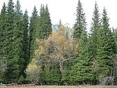 南北疆旅遊之28印象雲杉:14雲杉與其他林木和平共生.JPG