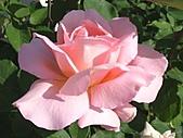 玫瑰多嬌加州尤甚:020.JPG
