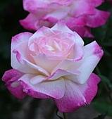 玫瑰多嬌加州尤甚:021.JPG