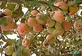 南北疆之42核桃王神木園:23紅蘋果.JPG