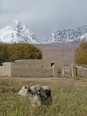 南北疆之完結篇《走在帕米爾高原上》:18牛羊之高原牛1.jpg
