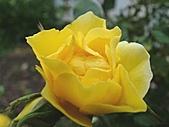 玫瑰多嬌加州尤甚:011.JPG