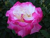 玫瑰多嬌加州尤甚:012.JPG