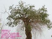 南北疆之38無語話胡楊之(下):47胡楊長鬍鬚.jpg