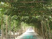 南北疆之42核桃王神木園:04千米葡萄長廊高大寬敞可通行巴士.JPG