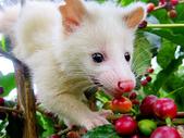 台東山豬園有機農場 果子狸咖啡~台灣版麝香貓咖啡:5黃金咖啡豆.白貍貓麝香咖啡