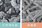 醇養源生の源起~白藜蘆醇 Resveratrol 太聰明 肽聰明 鈣天然 膠原蛋白:06比菲德式菌.jpg