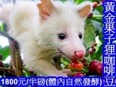 博士下鄉 咖啡實驗~台東種出 果子狸咖啡~稱台灣版的麝香貓咖啡~保留更多~綠原酸及葫蘆巴鹼!:A10台東果子狸咖啡~黃金果子狸咖啡豆.jpg