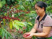 台東山豬園有機農場 果子狸咖啡~台灣版麝香貓咖啡:a02台東果子狸咖啡~樹蔭栽培~自然農法